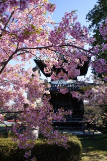 Pagode et cerisier en fleurs