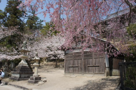 Les sakura